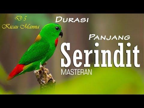 Kicauan Burung Serindit Suara DASYAT MEMUKAU Bagus Untuk Masteran MURAI BATU