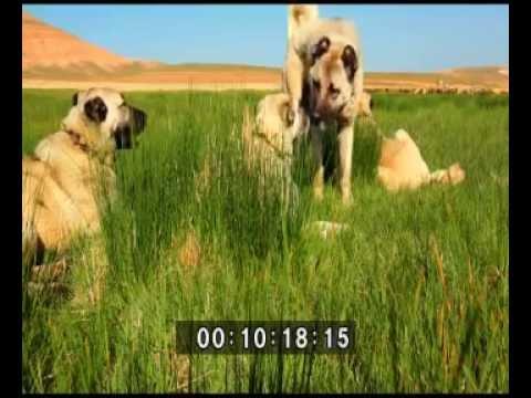 Kangal köpeği belgeseli (TRT tarafından çekilen belgeselden 2015)