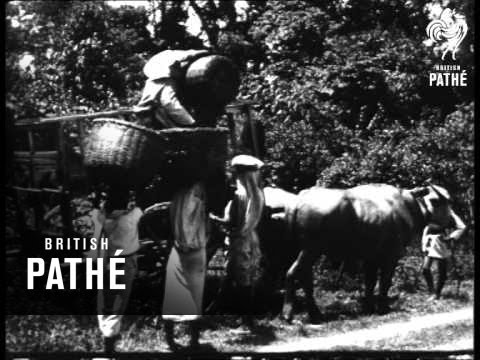 The Story Of India Tea (1917-1918)