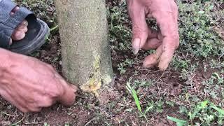 Phương pháp xử lý bệnh xì mủ trên cây bưởi hiệu quả, vườn bưởi 5000 quả ( #LNLV )