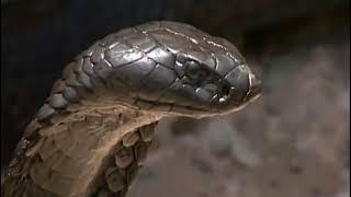 Cobra Royal vs Varan, qui est le plus fort ?