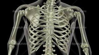 видео Скелет человека: строение, особенности, значение