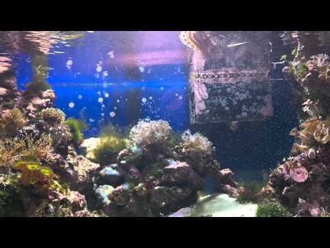 30gl Reef Tank: Snowflake Eel And Dwarf Lionfish Feeding