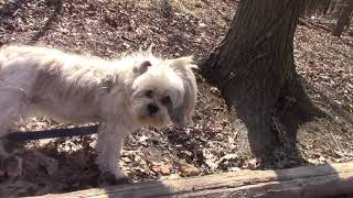 My Lhasa Apso Dog Roxie Turns 16 Years Old