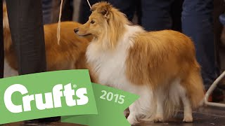Best Of Breed - Shetland Sheepdog And Winner's Interview  | Crufts 2015