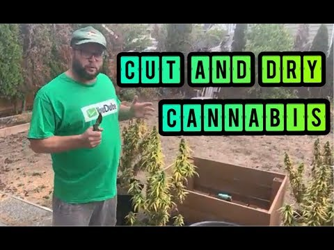 Step by Step How to Harvest Cut and Dry Outdoor Cannabis Plants