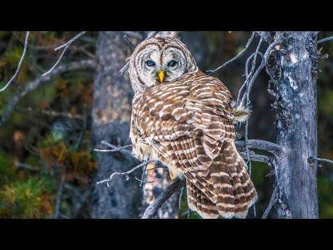 Barred Owl Hunting In Canadian Rockies