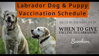 Labrador Retriever Puppies Vaccination Schedule | Puppies Vaccination Schedule | Scoobers