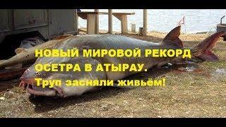 Гиганский улов в Атырау. #Новости Казахстана, #Рыбалка в Атырау