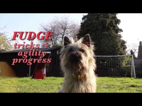 Fudge | updated cairn terrier tricks + agility