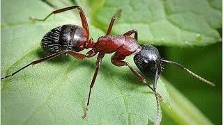 видео Борная кислота от муравьев: 5 рецептов и 18 способов избавления от муравьев