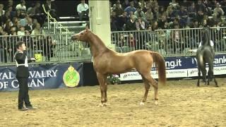 Italiano con L'arabo (cavallo arabo) - Fieracavalli 2013 Verona