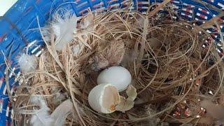 ออกเป็นตัวแล้ว ลูกนกเขาใหญ่เกิดวันเข้าพรรษา