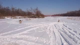 アトムとウニちょの放牧   この後、誰もいない雪原でFJスタック⤵  ⤵  ⤵️