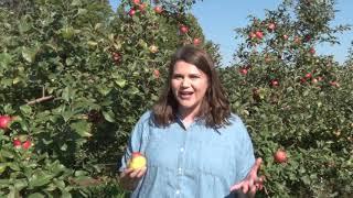 Apple picking season is in full swing