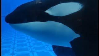 Tilikum - May 20 2013 10am - SeaWorld Orlando