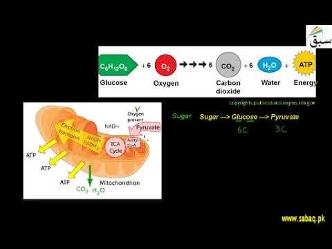 Mitochondria Convert Energy | Punjab/Federal Board Syllabus