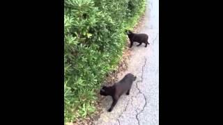 Gatti vs gallina