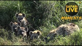 Hyena Cubs are not Fond of Singing