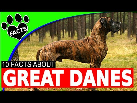 Great Dane Dogs 101 Fun Facts About #GreatDane #Dog