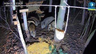 🐗 Dziki w karmisku dla dzikich zwierząt w lesie 🔉
