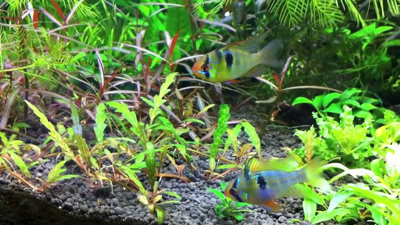 German Blue Ram Dwarf Cichlids In Planted Aquarium Youtube