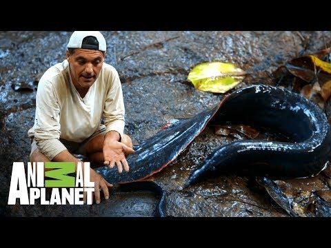 ¡Anguila de fuego ataca a Frank! | Wild Frank: En busca del dragón | Animal Planet