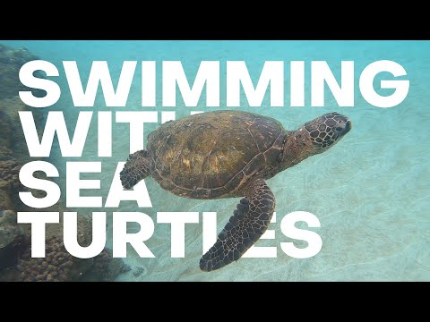 Snorkeling Turtle Town: Swimming With Turtles Maui - The Detourist Guide To Travel - Maui   Ep. 5