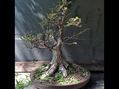 wiring on ficus nuda tree youtube rh youtube com