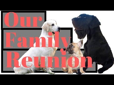 Giant Schnauzer's Family reunion - BlackDogProduction