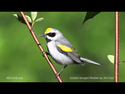 Golden-winged Warbler Song