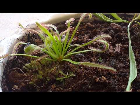 Equilibrio Carnivorous Plants Carnivorous Plant Sundew Time
