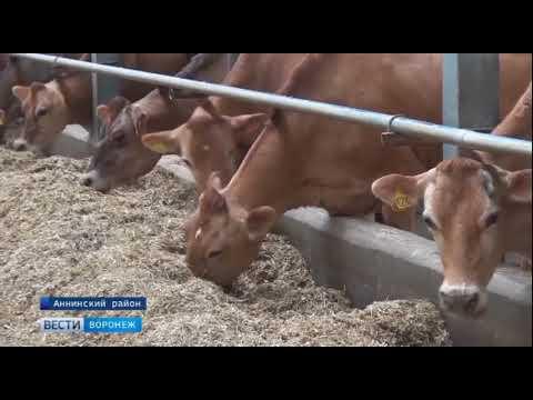 Дойка коров в дании видео