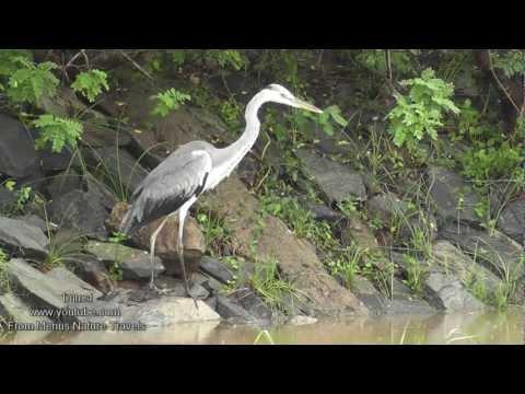 Nature and Trees, Birds  -  Grey Heron