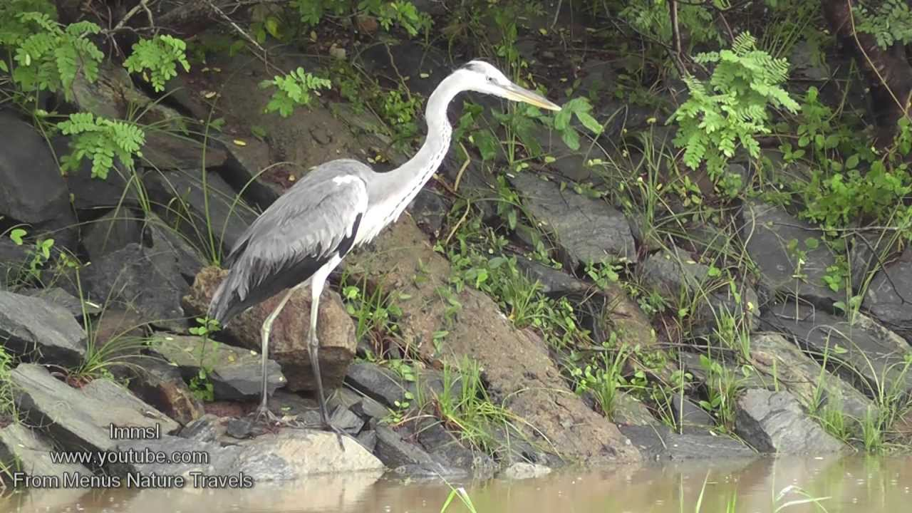 Nature and Trees  Birds   Grey Heron   YouTube