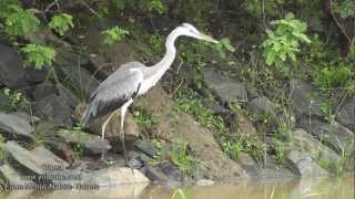 Nature and Trees, Birds  -  Grey Heron