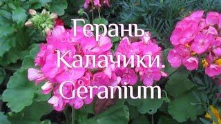 Калачики. Герань. Geranium