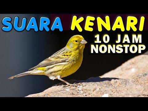 Download Lagu 10 JAM NONSTOP - SUARA KICAU BURUNG KENARI - GACOR - NGEKEK