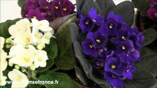Violettes africaines Willemse