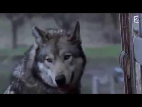 kurt çiftliğe girdi.köpekler sahibi gelinceye kadar sustu