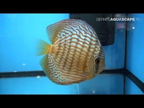 Discus Fish Classification: Striped Turquoise Discus - Aquatics Live 2012, Pt.13