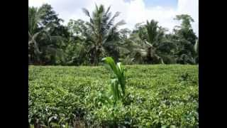 Tea Land for Sale in Galle - www.ADSking.lk