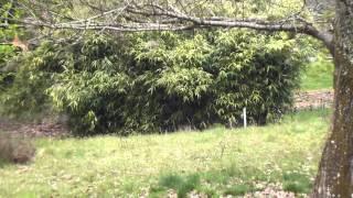 bambou tabashir.MTS