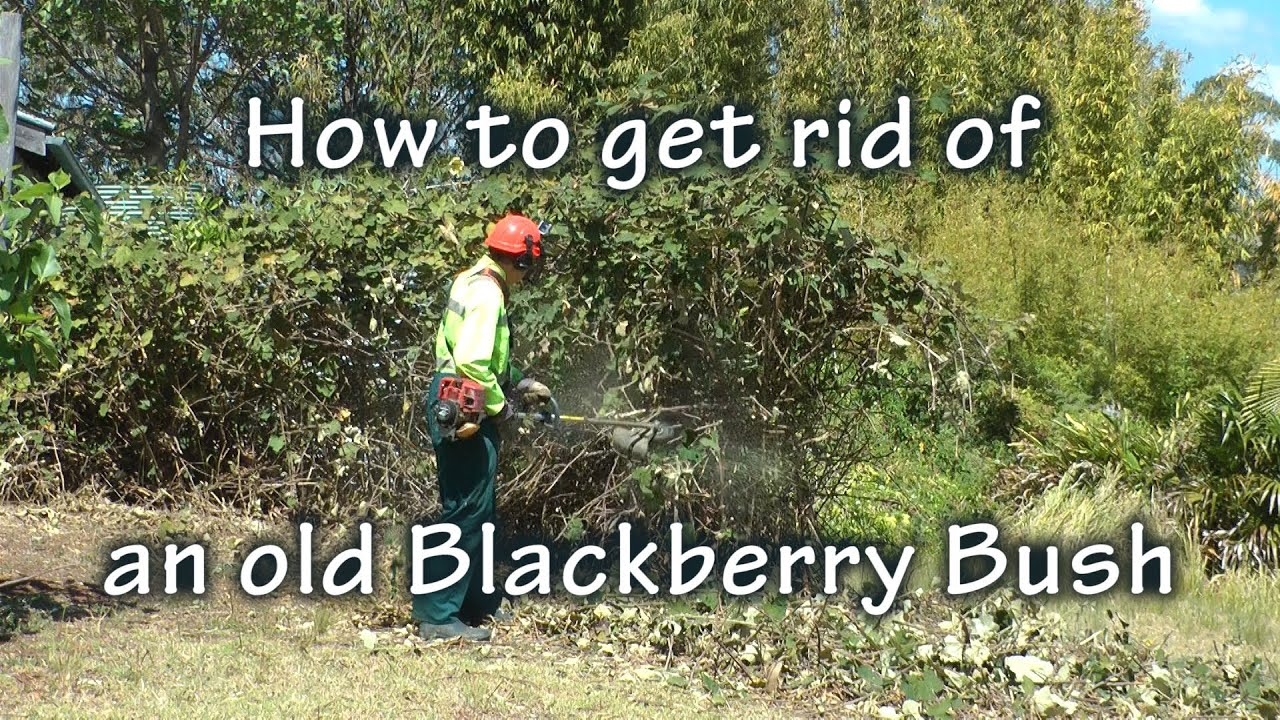 how to get rid of blackberries youtube