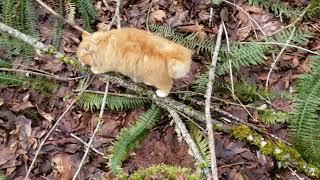 BOBTAIL CAT  Mr. Bojangles