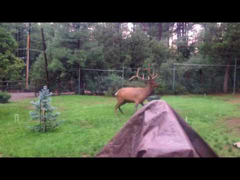 Elk and Dog playing in the yard - FUNNY!