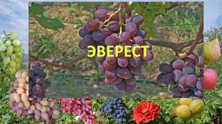 Виноград Эверест. Виноград супер