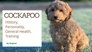 Cockapoo  The Perfect Mix of Cocker Spaniel & Poodle | The Designer Dogs
