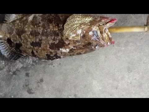 ត្រីតុកកែដំរី - Epinephelus malabaricus Malabar grouper ( Max. 57.4 cm ) -Video -Cambodia