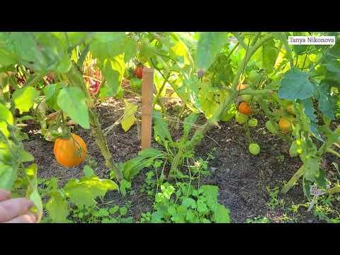 Томат ТРЮФЕЛЬ ЖЁЛТЫЙ очень вкусный и урожайный томат.